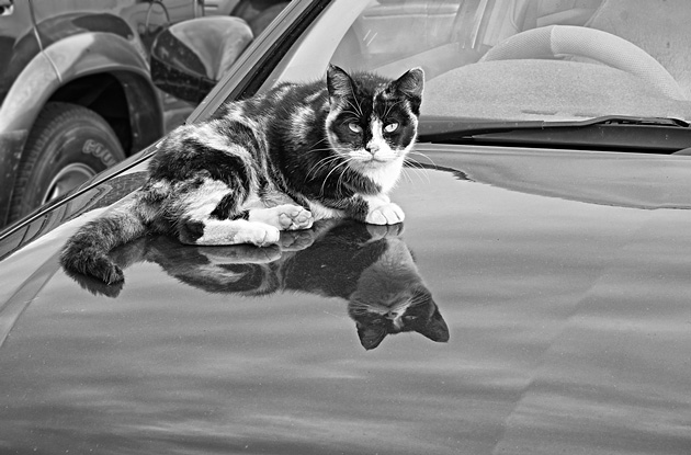 A feral cat that calls the car park home seeks warm from a parked car