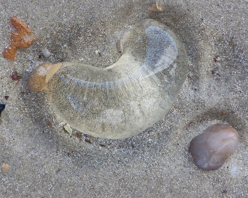 jellyfish macro