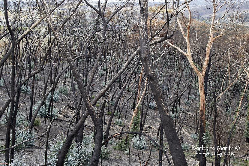 burnt forest regrowth