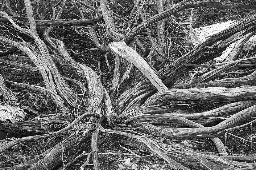 Dead Mallee Tree_Barbara Martin
