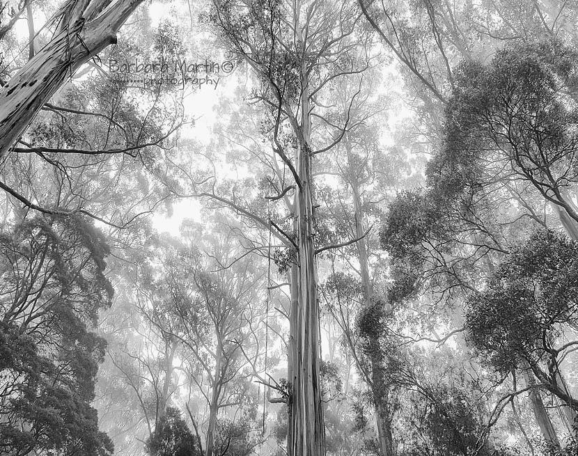 Mountain Ash, Rainforest Vic2_Barbara Martin