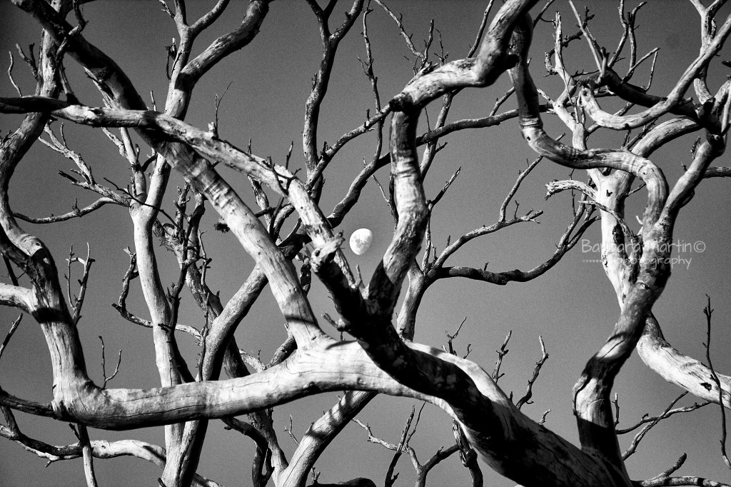 Moon Amongst the Branches_ Barbara M Martin
